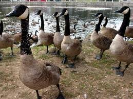 Geese (6)